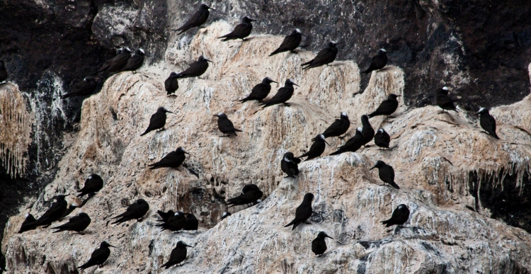 Black Noddies atop of years of Guano accumulation!