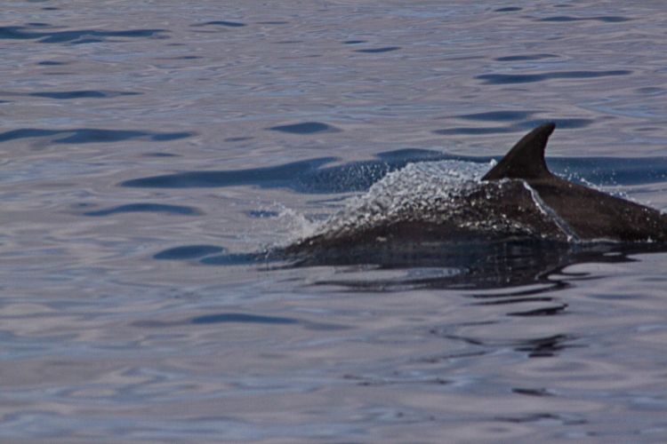 A Bottlenose dolphin who broke the surface just yards from us.