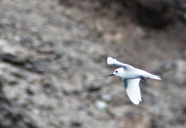 Simply Stunning, Pure White Fairy Tern.