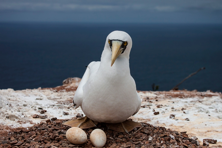 Maskd Booby with two eggs St Helena