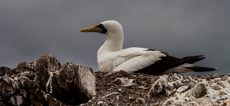 Our first sight of a Masked Booby on her nest.