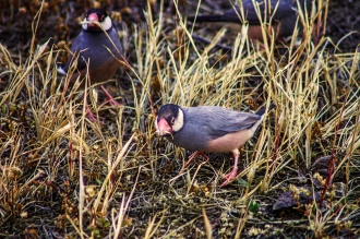 Java Sparrows form flocks of around 40 flitting from one feeding post tot he next.