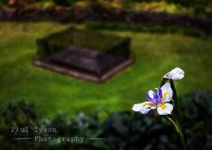 Cape Iris Napoleon's Grave