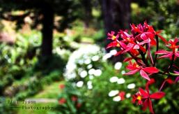 Crucifix Orchid (Epidendrum ibaguense)