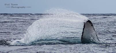 Humpback Splash