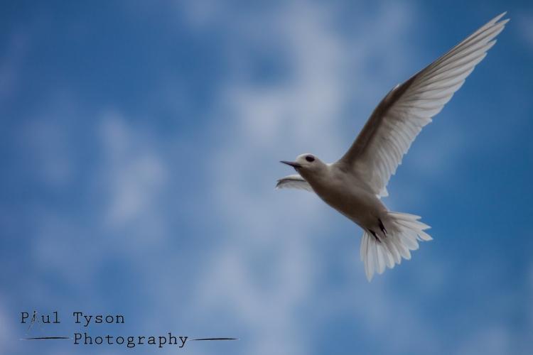 Fairy Tern St Helena