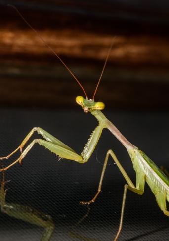 Praying Mantis we found in our lounge