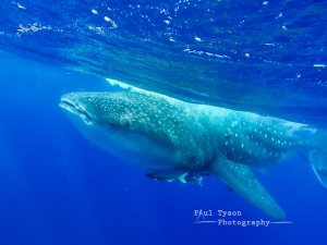 A Huge, 12m male whales shark that I swam with!