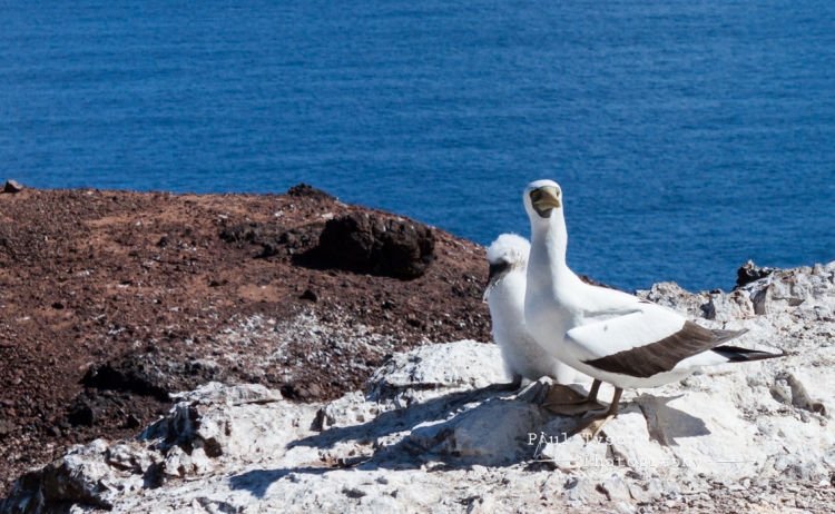 Masked Booby and chick,