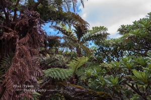 Tree Ferns and Black Cabbage Trees