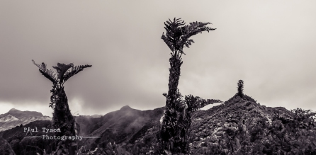 Tree Ferns and Mt Acteaon St Helena