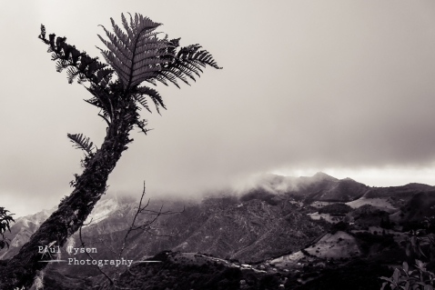 Tree Ferns St Helena B&W