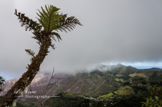 Tree Ferns St Helena