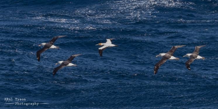 Cape Gannet and Albatros