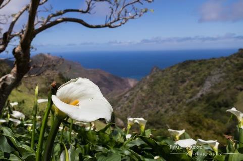 Arum Lilly looking out over Sandy Bay and Lot.