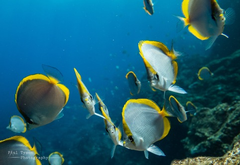 St Helena Cunningfish, local name for an endemic Butterfly fish