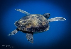 Fabulous young Green Turtle.