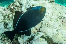 Apparently black, the Trigger fish reveals its true colours