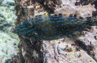 Neon File Fish