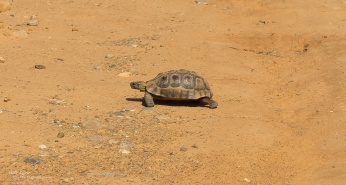 Slow Tortoise in road!