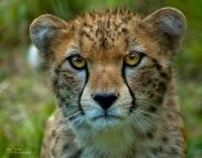 cheetah-eyes-clarrity