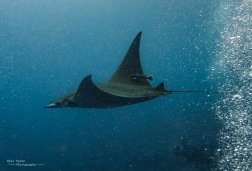 Devil Rays are frequently seen when diving int he summer.
