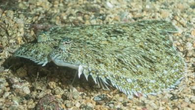 St Helena flounder