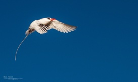 Stunning Tropic Bird