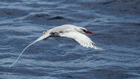 Tropic Bird. Tryign to photograph these things flying from a moving boat is tricky!
