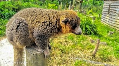 Rufus Lemur at Wild Place in Bristol