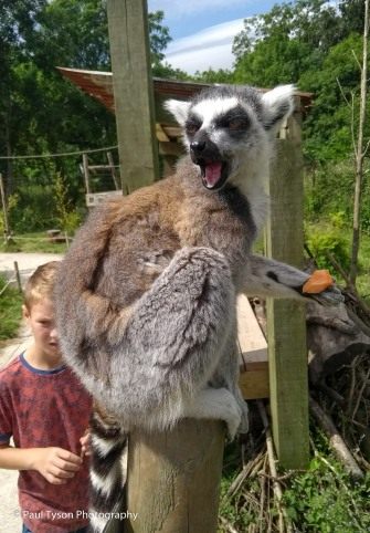 Ringed Tail Lemur at Wild Place in Bristol